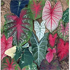 Caladium Mix Multicolor - COLHEITA PROGRAMADA